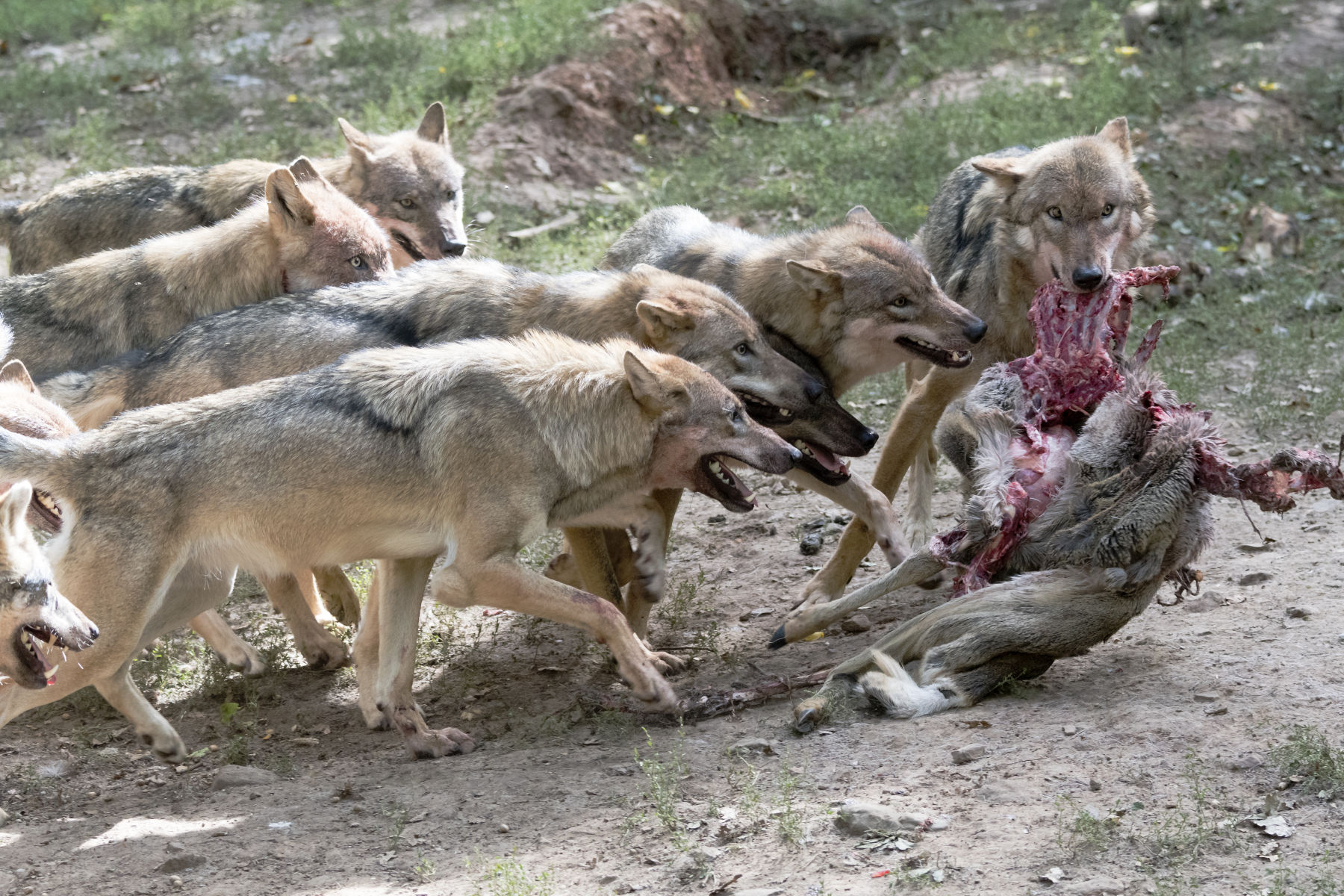 On Becoming a Wolf Among Dogs: Male Ritual and Rites of Passage